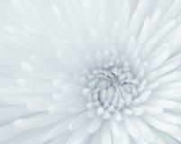 Chrysanthemum close-up Stock Photos