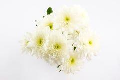 Chrysanthemum. Stock Photography