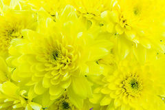 Chrysanthemum. Stock Photography