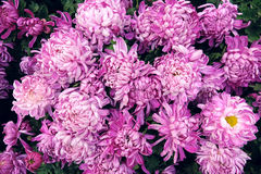 Chrysanthemum. The close-up of pink chrysanthemum flowers stock images