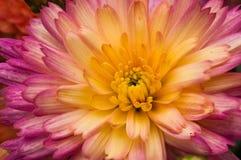 Chrysanthemum closeup Royalty Free Stock Photo