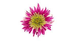 Chrysanthemum closeup Stock Photos
