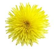 Chrysanthemum closeup Royalty Free Stock Photography