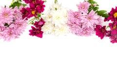Chrysanthemum coloré sur le fond blanc Image stock