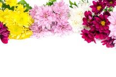 Chrysanthemum coloré sur le fond blanc Photo stock