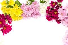 Chrysanthemum coloré sur le fond blanc Photos stock