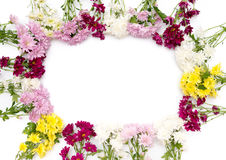 Chrysanthemum coloré sur le fond blanc Photos libres de droits