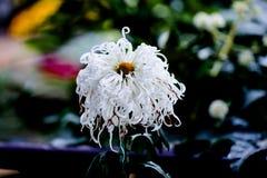 Chrysanthemum Stock Photo