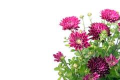 Chrysanthemum in corner of white background Stock Photos