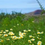 Chrysanthemum coronarium Royalty Free Stock Photos