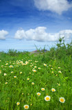 Chrysanthemum coronarium Royalty Free Stock Images