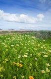 Chrysanthemum coronarium. Bloom on Fuerteventura after rains of late autumn Royalty Free Stock Image