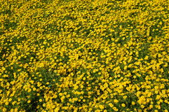 Chrysanthemum coronarium blossom. Selective focus Royalty Free Stock Image