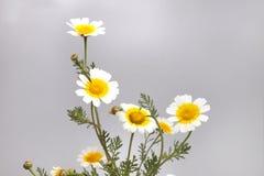 Free Chrysanthemum Coronarium Flower Royalty Free Stock Image - 114810416