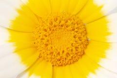 Chrysanthemum coronarium flower. Close up view of the beautiful Chrysanthemum coronarium flower Stock Photos