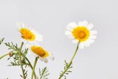 Chrysanthemum coronarium flower. Close up view of the beautiful Chrysanthemum coronarium flower Stock Photo