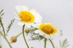 Chrysanthemum coronarium flower. Close up view of the beautiful Chrysanthemum coronarium flower Royalty Free Stock Photos