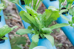 Chrysanthemum coronarium planting Water Hydroponics Stock Image