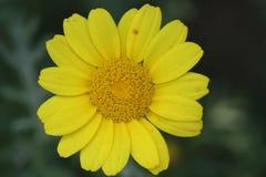Chrysanthemum coronarium var. coronarium, Garland Chrysanthemum Stock Photography