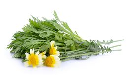 Chrysanthemum coronarium on white background. The Chrysanthemum coronarium on white background Royalty Free Stock Photography