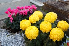 Chrysanthemum and cyclamen plants on a tombstone royalty free stock photography
