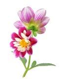 Chrysanthemum dahlia Royalty Free Stock Photography