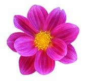 Chrysanthemum dahlia Royalty Free Stock Photo
