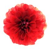 Chrysanthemum dahlia Royalty Free Stock Images