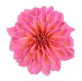 Chrysanthemum dahlia Stock Image