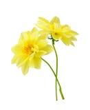 Chrysanthemum dahlia Stock Images