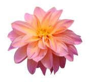 Chrysanthemum dahlia Royalty Free Stock Image
