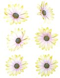 Chrysanthemum daisies Stock Image