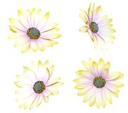 Chrysanthemum daisies Royalty Free Stock Images