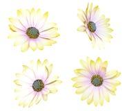 Chrysanthemum daisies Royalty Free Stock Images