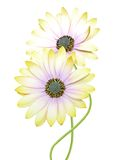 Chrysanthemum daisies Royalty Free Stock Photos