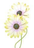 Chrysanthemum daisies Royalty Free Stock Photos