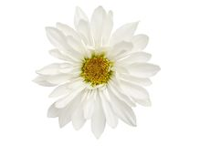 Chrysanthemum daisy Royalty Free Stock Image