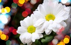 Chrysanthemum on dark background with bokeh Royalty Free Stock Photo