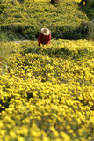 Chrysanthemum de cueillette Photos libres de droits