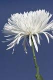 Chrysanthemum de Fuji Photos libres de droits