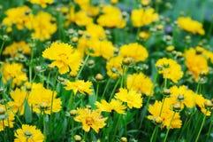 Chrysanthemum de marguerites Images libres de droits