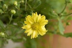 Chrysanthemum Dendranthema indicum L. Flowers. Stock Photos