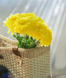 Chrysanthemum, dendranthemum yellow flower. Stock Image