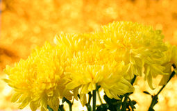 Chrysanthemum, dendranthemum yellow flower Royalty Free Stock Images