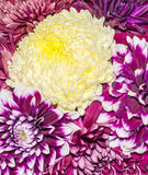 Chrysanthemum and dhalia purple and yellow flowers, details.  stock illustration