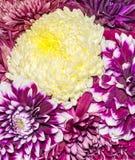 Chrysanthemum and dhalia purple and yellow flowers, details Stock Photo
