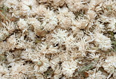 Chrysanthemum dried flowers. White chrysanthemum dried flowers background royalty free stock images