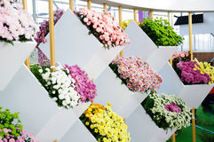 Chrysanthemum Exhibition Stock Photography
