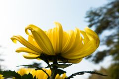 Chrysanthemum stock photos
