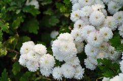 Chrysanthemum Stock Images